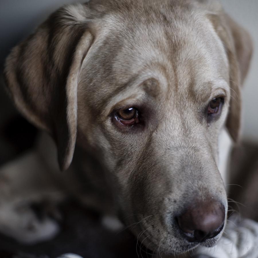 Leenhond Bommel. Foto van de kop van een hond.