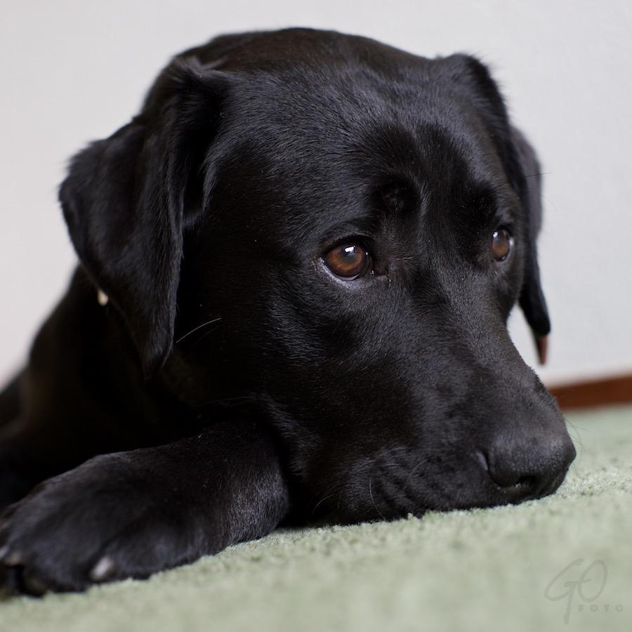Balou de leenhond. Foto van een hond.