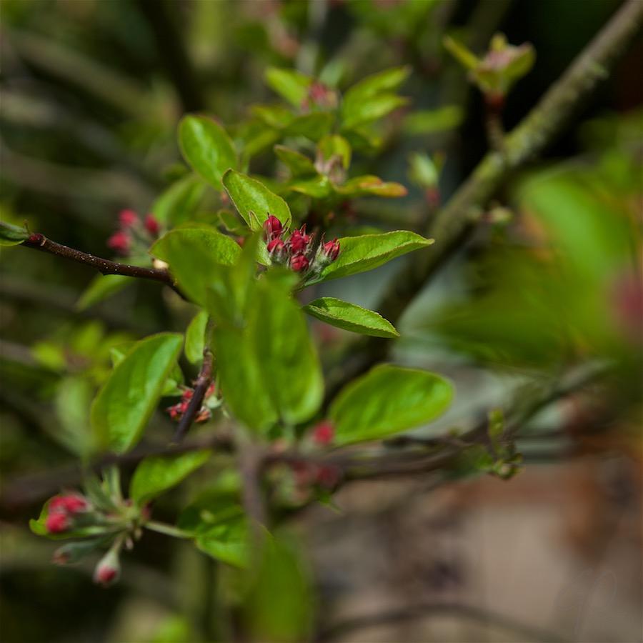 De Appelboom. Een tak met verschillende bloesembloemen.