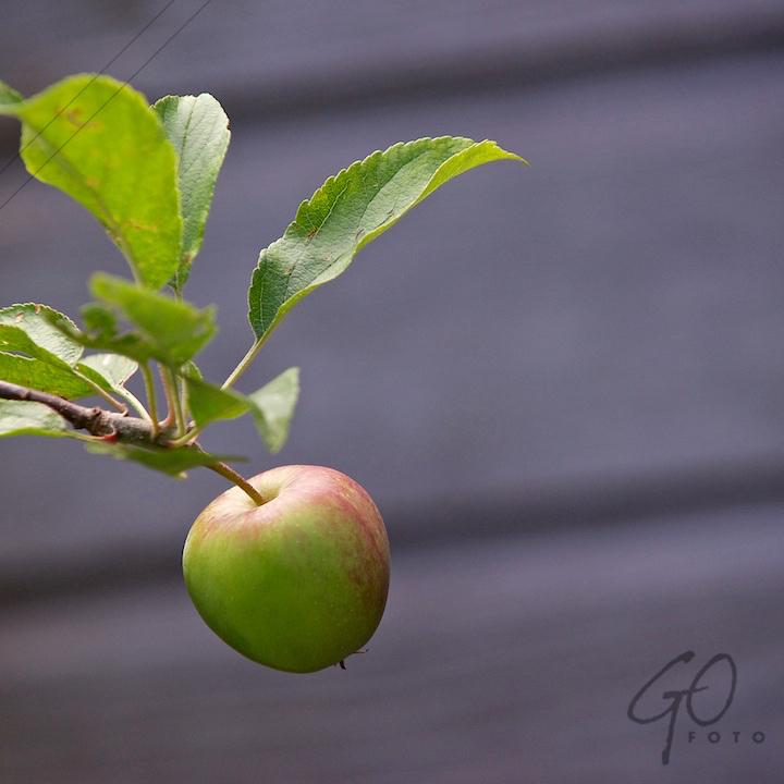 De Appel in de achtertuin vanaf 2012 Appel met groene blaadjes