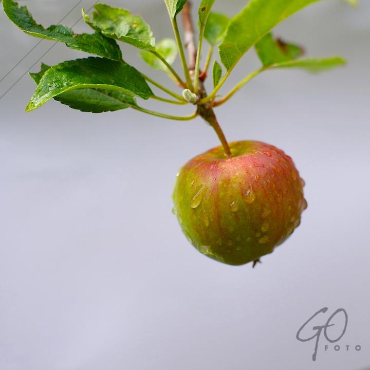 De Appel in de achtertuin vanaf 2012 Appel met waterdruppels