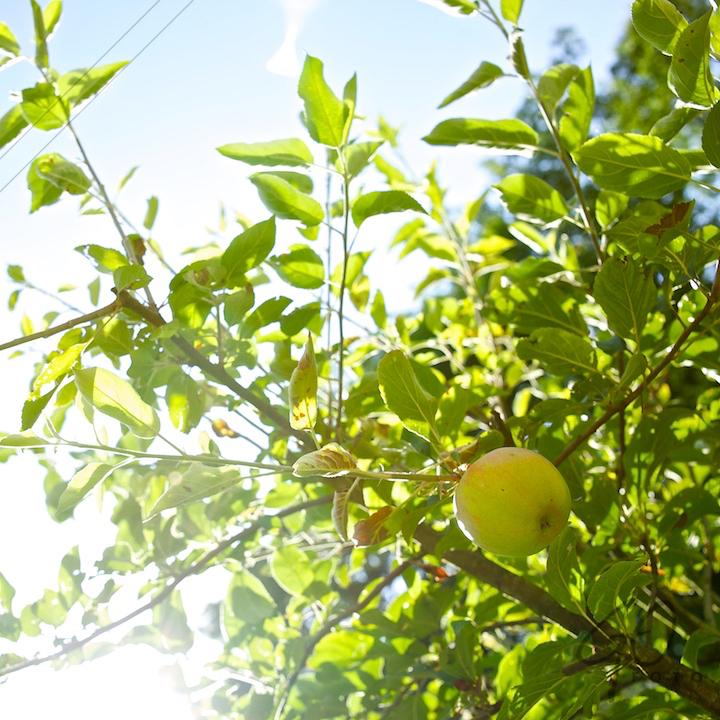 De Appel in de achtertuin vanaf 2012 Appel aan boom
