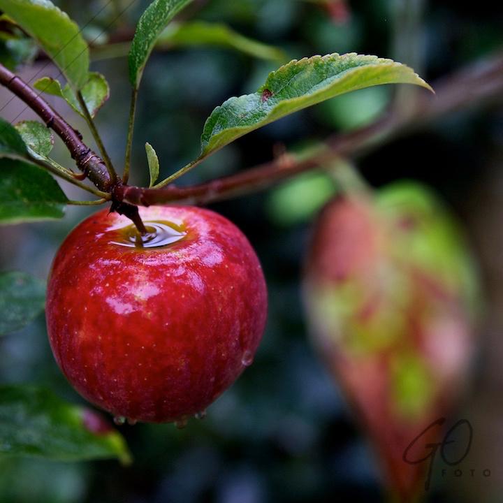 De Appel in de achtertuin vanaf 2012 Appel aan boom tegen de herfst. Vuurrood.